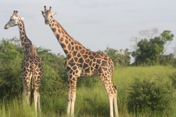 Wildlife safari ideas in Uganda