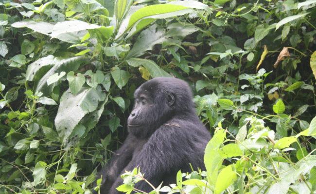 Gorilla Tracking Safaris Rwanda