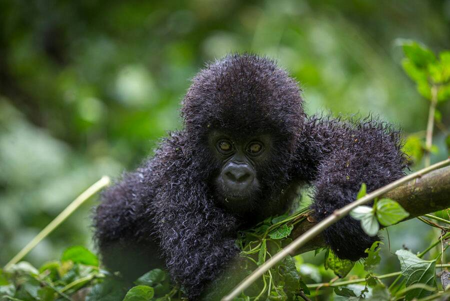 best place to see mountain gorillas