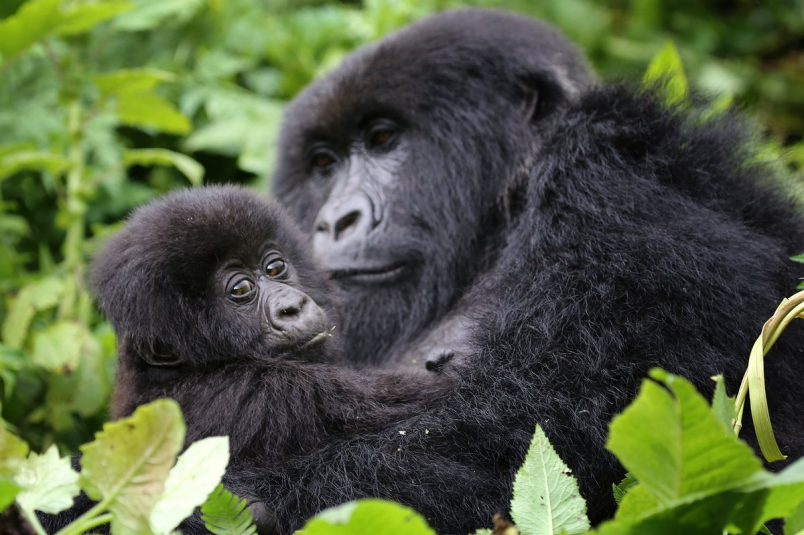 Are there any Mountain Gorillas in Zoos?