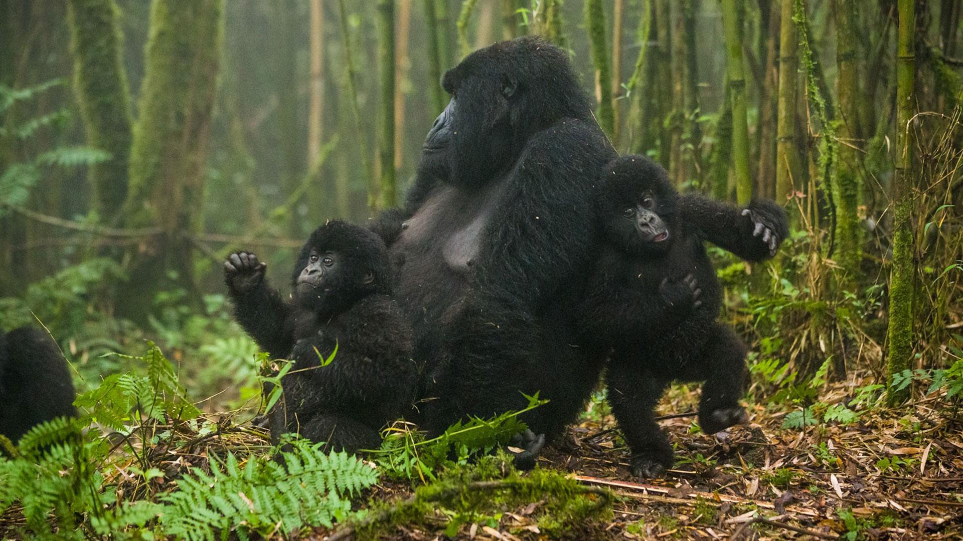Why Trek Mountain Gorillas in Rwanda?