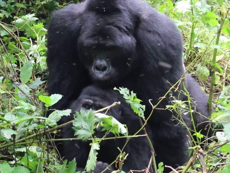 Reproduction in mountain gorillas