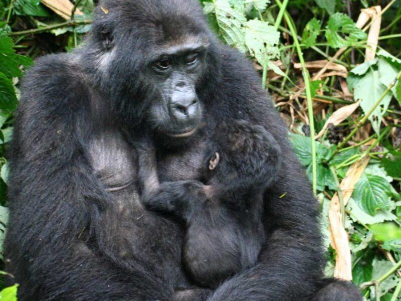 Role of Female Gorillas in a Family