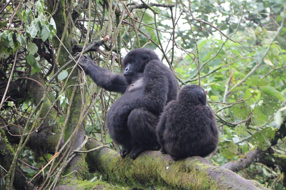 current cost of gorilla permits Uganda Rwanda