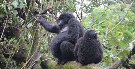 Mountain gorillas of Africa