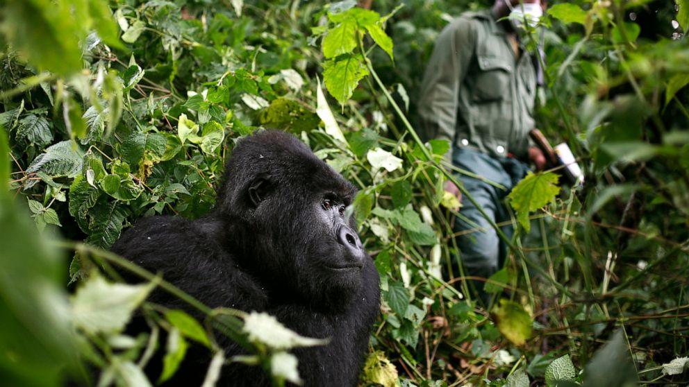 Why is gorilla trekking in Rwanda Expensive?