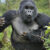 How dangerous are gorillas to humans?