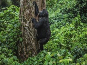 Is Uganda Gorilla Trekking Safe in 2021 amidst COVID 19?