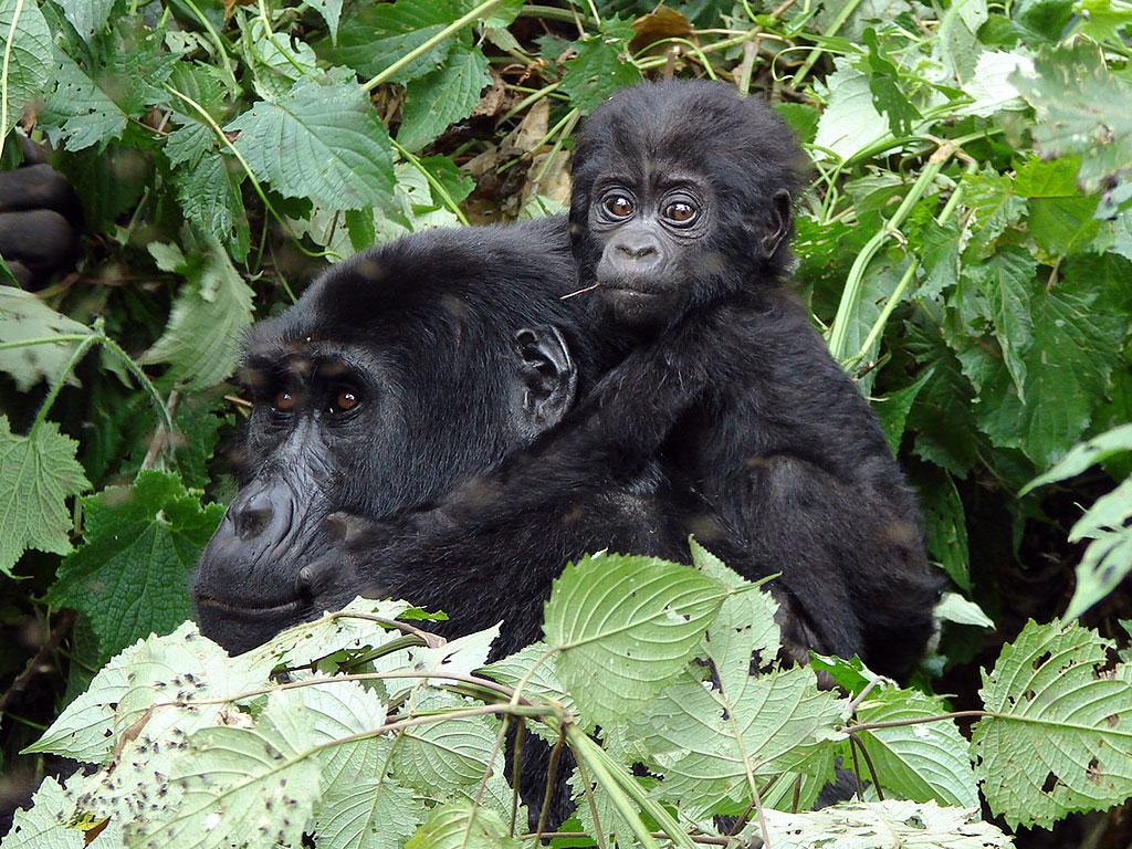 Mountain gorilla trekking in Africa