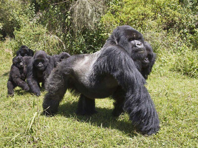 Uganda Vs Rwanda Gorilla trekking