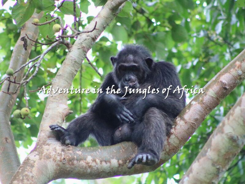 Chimpanzee Trekking Safari