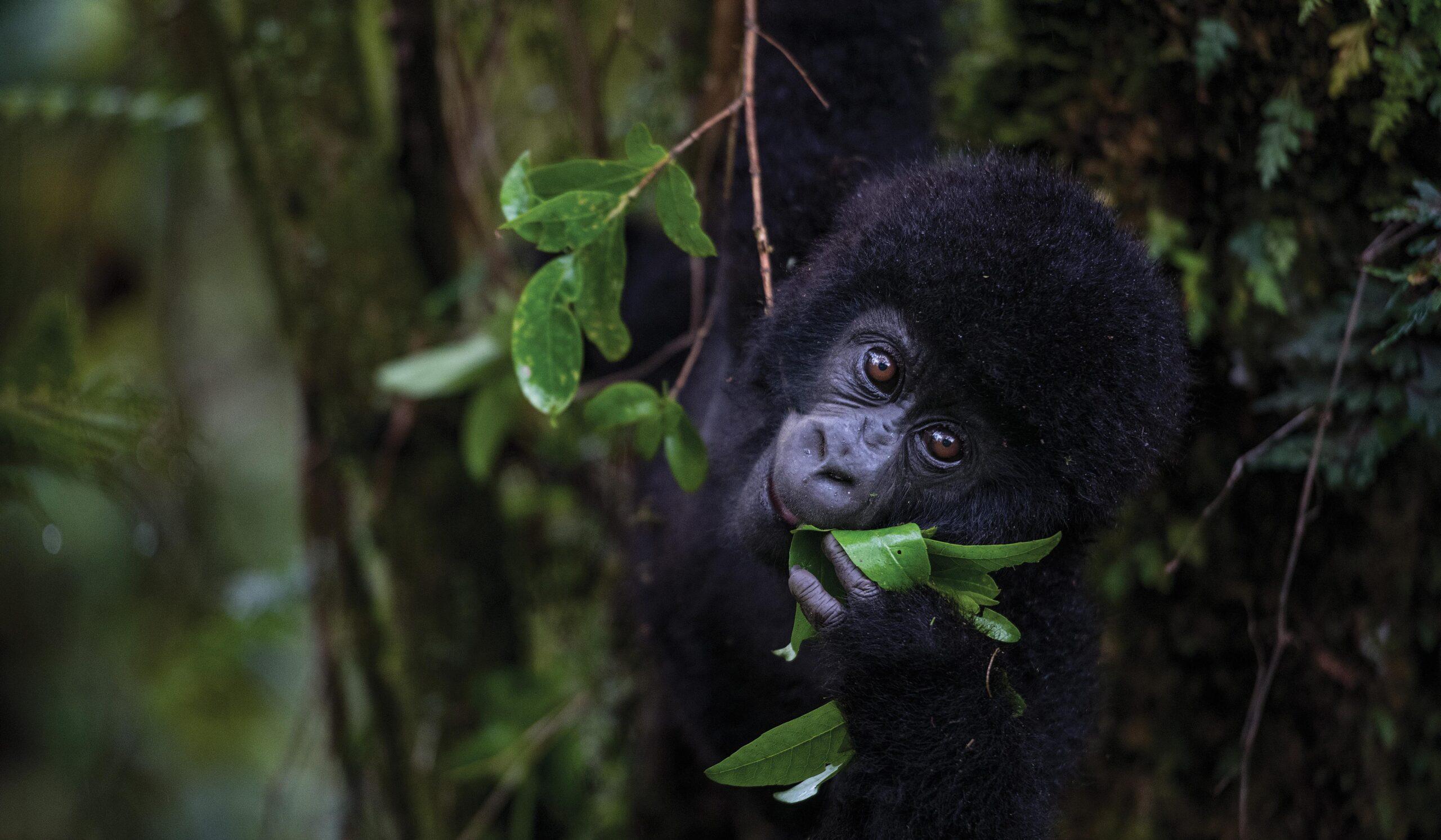 Best Gorilla Safaris Uganda