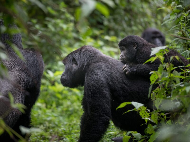 Best Uganda gorilla safaris