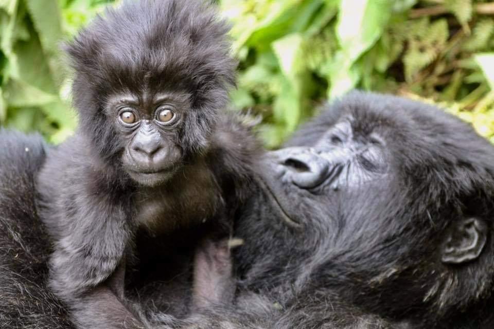 Trekking gorilla in Rwanda budget